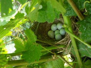 A bird's nest with 6 eggs in it